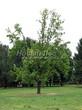 Посадка крупномеров Дуба черешчатого (Дуба обыкновенного) (Quercus robur) - 217
