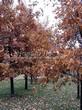 Посадка крупномеров Дуба черешчатого (Дуба обыкновенного) (Quercus robur) - 218