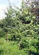 Посадка крупномеров Дуба черешчатого (Дуба обыкновенного) (Quercus robur) - 220