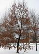Посадка крупномеров Дуба черешчатого (Дуба обыкновенного) (Quercus robur) - 221
