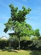 Посадка крупномеров Дуба черешчатого (Дуба обыкновенного) (Quercus robur) - 222