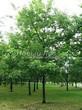 Посадка крупномеров Дуба красного (Дуба остролистного) (Quercus rubra) - 201