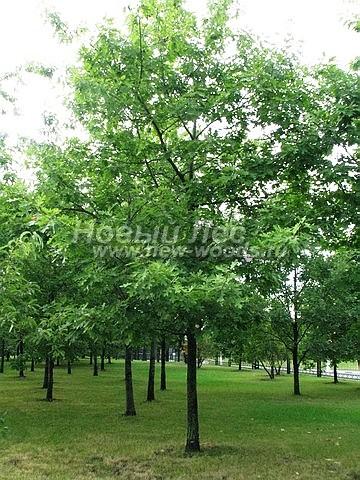 Дуб красный (Дуб остролистный): посадка крупномеров лиственных деревьев