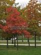 Посадка крупномеров Дуба красного (Дуба остролистного) (Quercus rubra) - 202