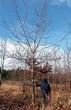 Посадка крупномеров Дуба красного (Дуба остролистного) (Quercus rubra) - 203