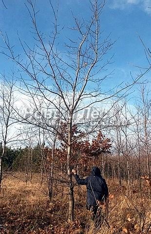 Посадка крупномеров лиственных деревьев Дуба красного