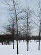 Посадка крупномеров Дуба красного (Дуба остролистного) (Quercus rubra) - 204