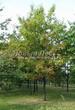 Посадка крупномеров Дуба красного (Дуба остролистного) (Quercus rubra) - 205