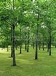 Посадка крупномеров Дуба красного (Дуба остролистного) (Quercus rubra) - 206