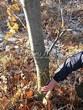 Посадка крупномеров Дуба красного (Дуба остролистного) (Quercus rubra) - 207