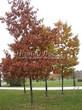 Посадка крупномеров Дуба красного (Дуба остролистного) (Quercus rubra) - 208