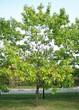 Посадка крупномеров Дуба красного (Дуба остролистного) (Quercus rubra) - 209