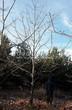 Посадка крупномеров Дуба красного (Дуба остролистного) (Quercus rubra) - 210