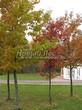 Посадка крупномеров Дуба красного (Дуба остролистного) (Quercus rubra) - 211