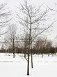 Посадка крупномеров Дуба красного (Дуба остролистного) (Quercus rubra) - 212