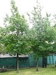 Посадка крупномеров Дуба красного (Дуба остролистного) (Quercus rubra) - 213