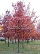 Посадка крупномеров Дуба красного (Дуба остролистного) (Quercus rubra) - 214