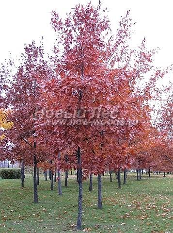 Дуб красный: лиственный крупномер