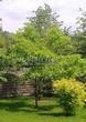 Посадка крупномеров Дуба красного (Дуба остролистного) (Quercus rubra) - 215