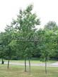 Посадка крупномеров Дуба красного (Дуба остролистного) (Quercus rubra) - 216