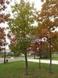 Посадка крупномеров Дуба красного (Дуба остролистного) (Quercus rubra) - 217