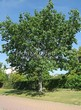 Посадка крупномеров Дуба красного (Дуба остролистного) (Quercus rubra) - 218