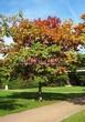 Посадка крупномеров Дуба красного (Дуба остролистного) (Quercus rubra) - 219
