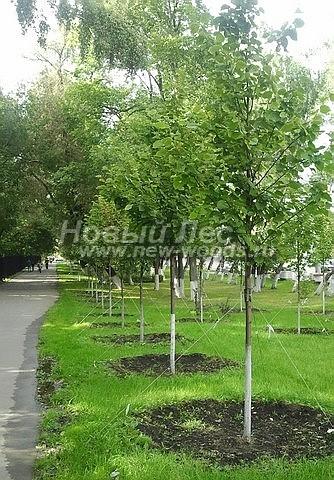 Посадка лиственных крупномеров Липы мелколистной