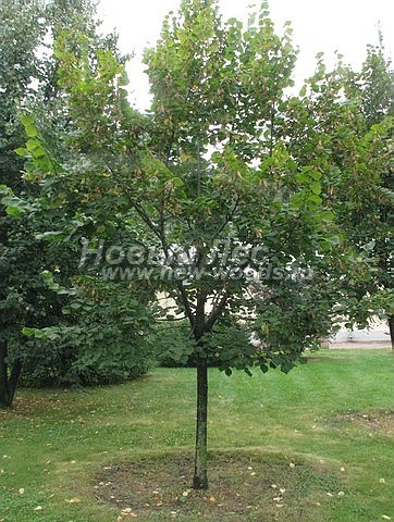 Липа мелколистная: посадка крупномеров лиственных деревьев