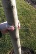 Посадка крупномеров Липы мелколистной (Tilia cordata) - 205