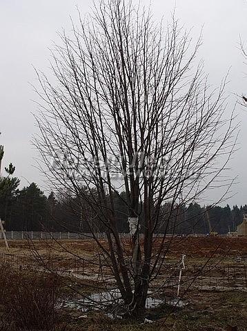 Липа мелколистная: лиственный крупномер