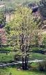 Посадка крупномеров Липы мелколистной (Tilia cordata) - 210