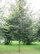 Посадка крупномеров Липы мелколистной (Tilia cordata) - 214