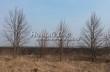 Посадка крупномеров Липы мелколистной (Tilia cordata) - 216