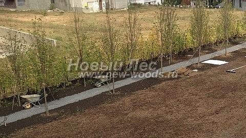 Посадка крупномеров лиственных деревьев Липы мелколистной