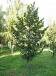 Посадка крупномеров Липы мелколистной (Tilia cordata) - 219