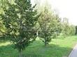 Посадка крупномеров Липы мелколистной (Tilia cordata) - 220