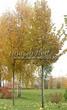 Крупномеры лиственные Липа крупнолистная