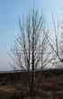 Посадка крупномеров Липы крупнолистной (Tilia platyphyllos) - 203