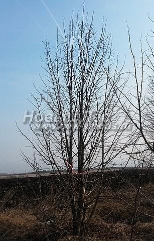 Липа крупнолистная: лиственный крупномер