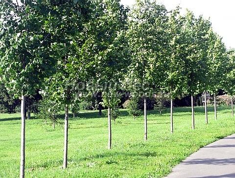Посадка крупномеров лиственных деревьев Липы крупнолистной