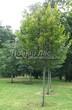 Посадка крупномеров Липы крупнолистной (Tilia platyphyllos) - 205