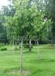 Посадка крупномеров Липы крупнолистной (Tilia platyphyllos) - 212