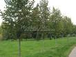 Посадка крупномеров Липы крупнолистной (Tilia platyphyllos) - 213