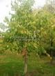 Посадка крупномеров Липы крупнолистной (Tilia platyphyllos) - 215