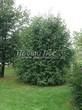 Посадка крупномеров Черемухи обыкновенной (Prunus padus (Padus racemosa)) - 201