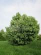 Посадка крупномеров Черемухи обыкновенной (Prunus padus (Padus racemosa)) - 203