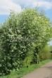 Посадка крупномеров Черемухи обыкновенной (Prunus padus (Padus racemosa)) - 204