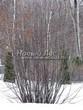 Посадка крупномеров Черемухи обыкновенной (Prunus padus (Padus racemosa)) - 205