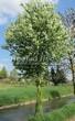 Посадка крупномеров Черемухи обыкновенной (Prunus padus (Padus racemosa)) - 206